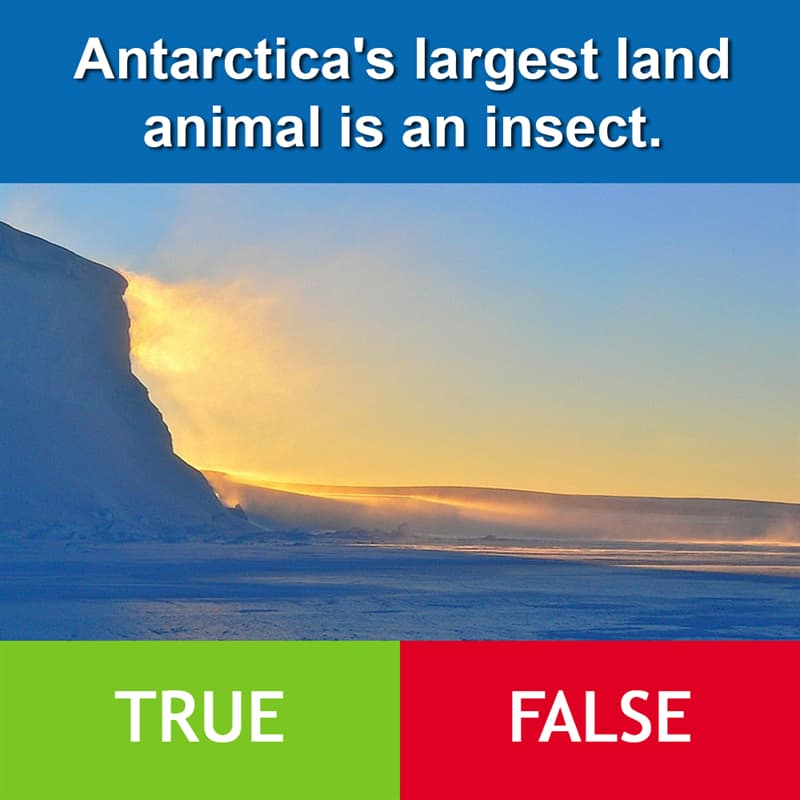 Culture Story: Antarctica's largest land animal is an insect.