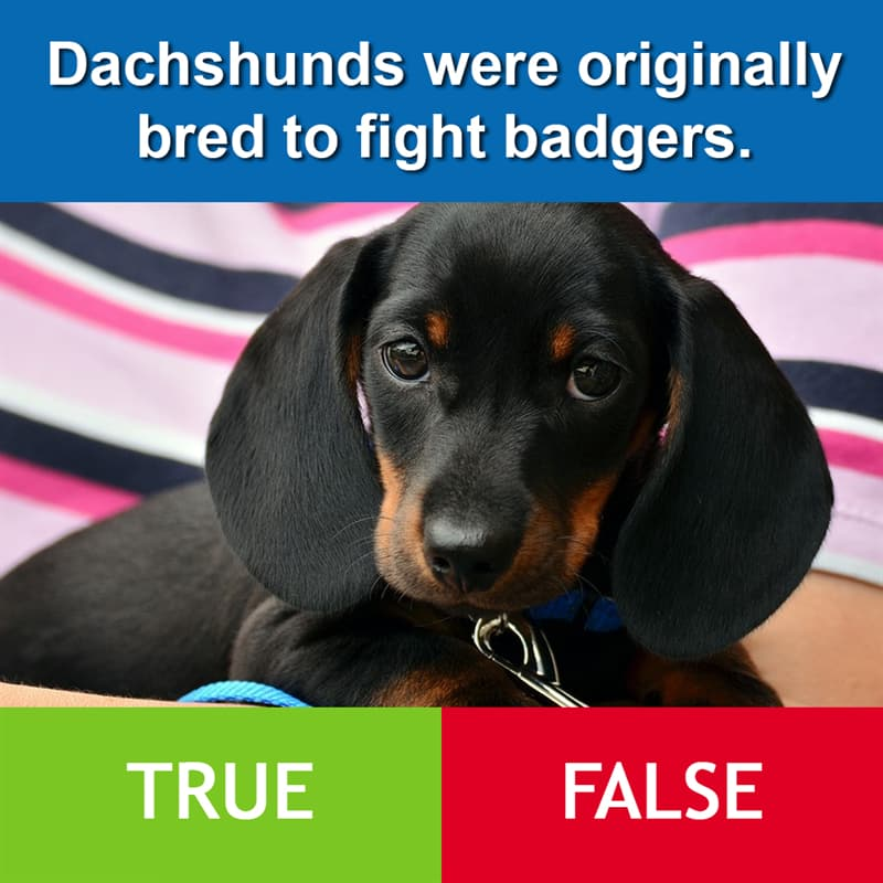 Culture Story: Dachshunds were originally bred to fight badgers.