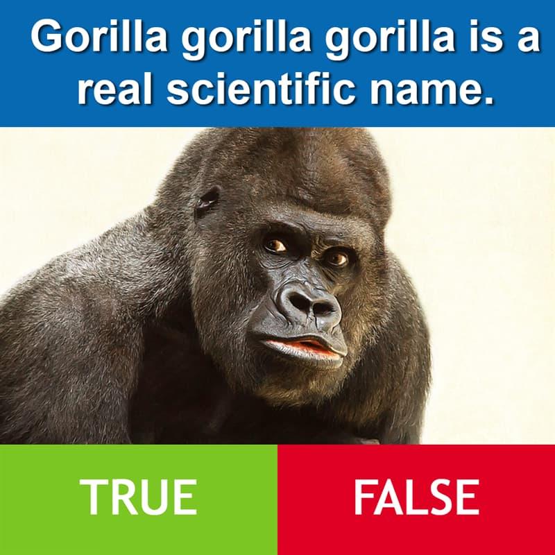 Culture Story: Gorilla gorilla gorilla is a real scientific name.