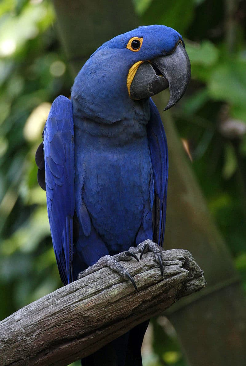 Nature Story: #1 Hyacinth macaw