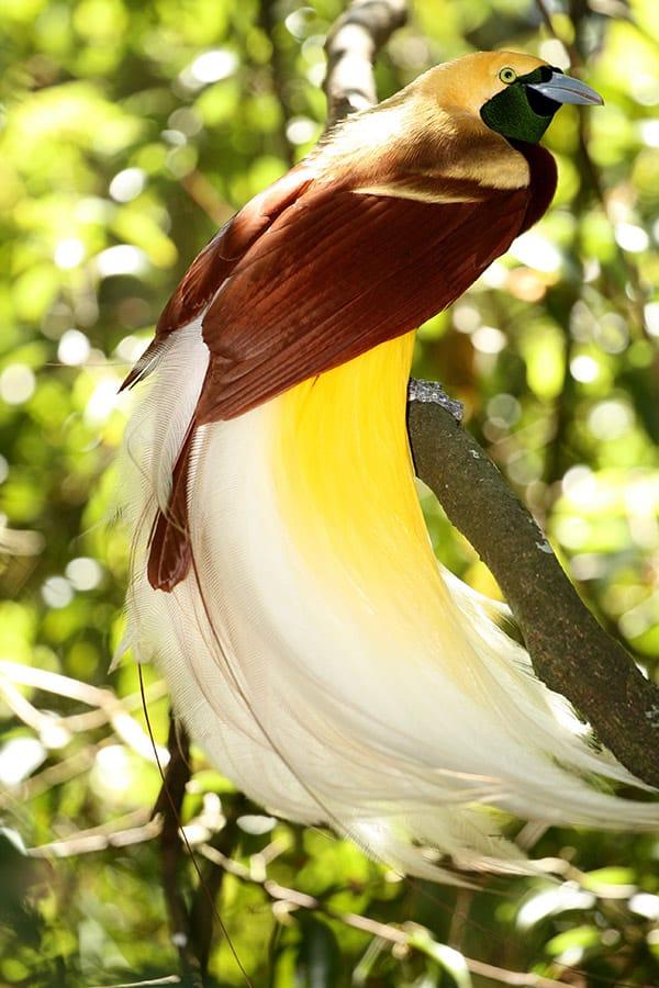 Nature Story: #10 Lesser bird-of-paradise