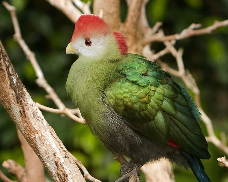 Nature Story: #11 Red-crested turaco