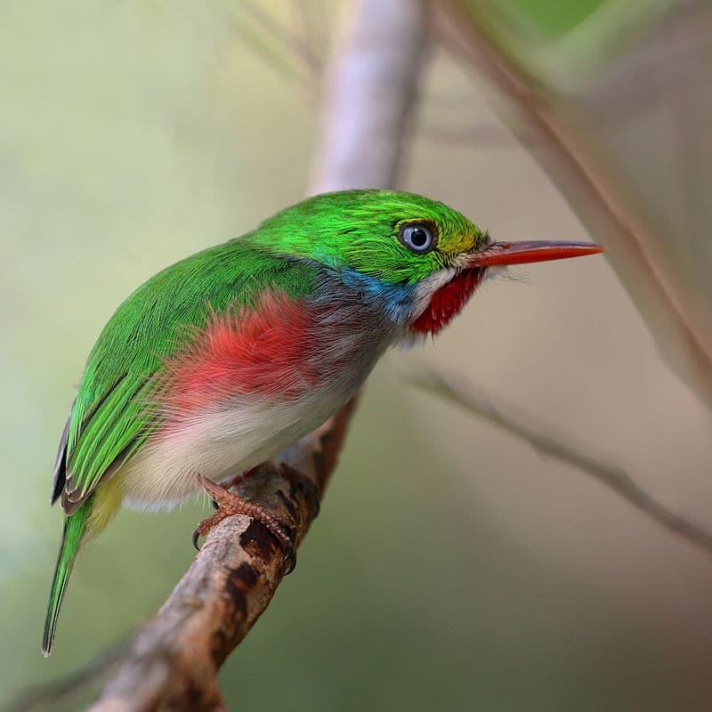 Nature Story: #12 Cuban tody
