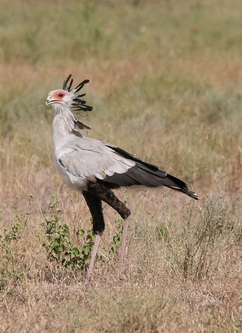 Nature Story: #13 Secretarybird