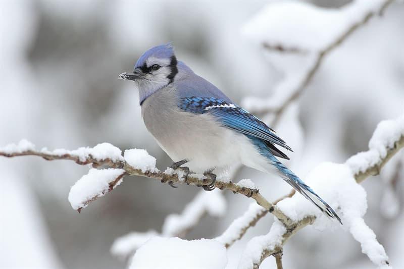 Nature Story: #4 Blue jay