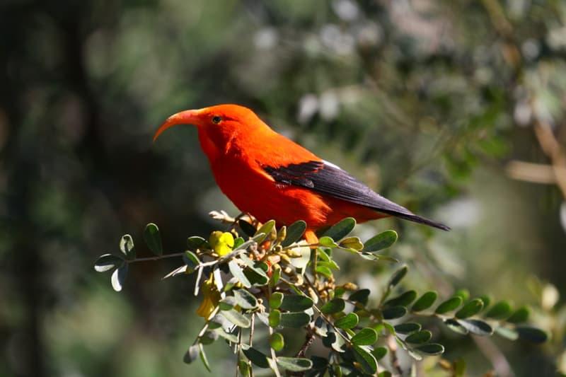 Nature Story: #6 ʻIʻiwi