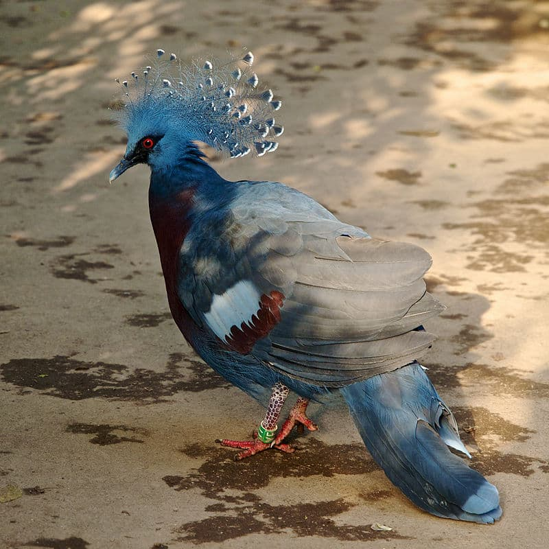 Nature Story: #9 Victoria crowned pigeon