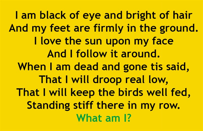IQ Story: I am black of eye and bright of hair  And my feet are firmly in the ground.  I love the sun upon my face  And I follow it around.  When I am dead and gone tis said,  That I will droop real low,  That I will keep the birds well fed,  Standing stiff there in my row.  What am I?