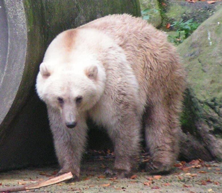 animals Story: #4 Grolar Bear (a grizzly–polar bear hybrid)
