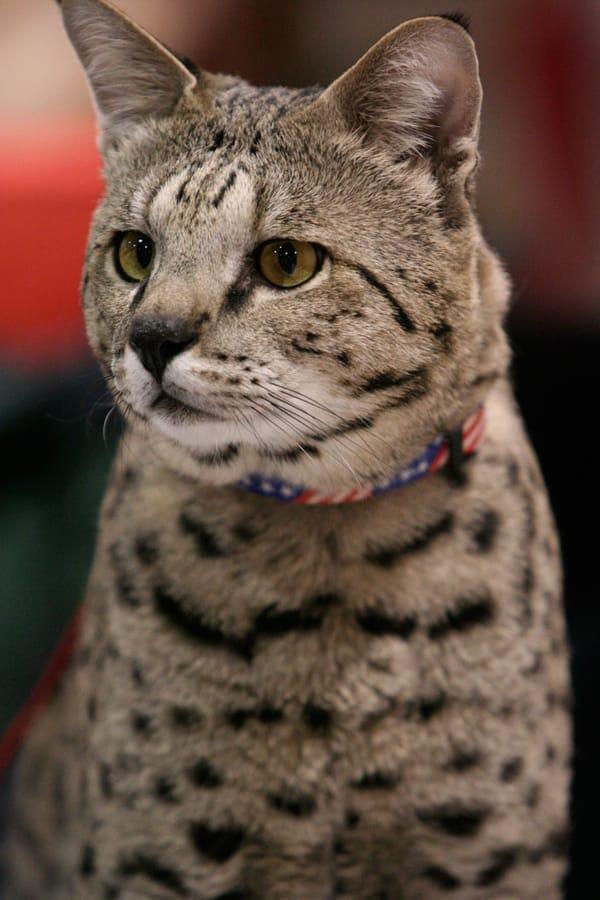 animals Story: #6 Savannah Cat