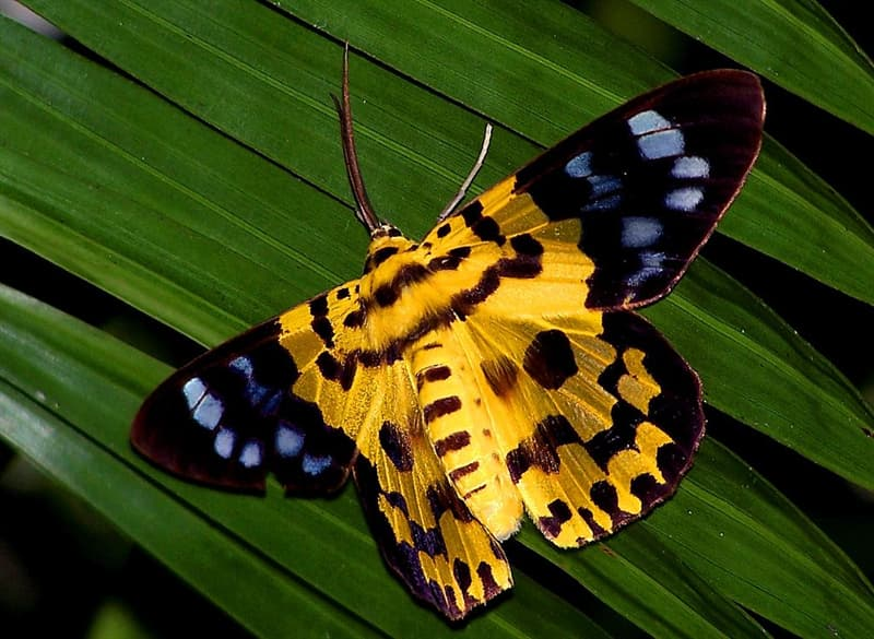 Nature Story: #2 Dysphania militaris moth