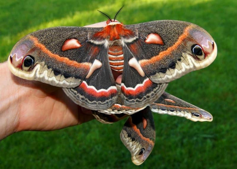 Nature Story: #3 Cecropia moth