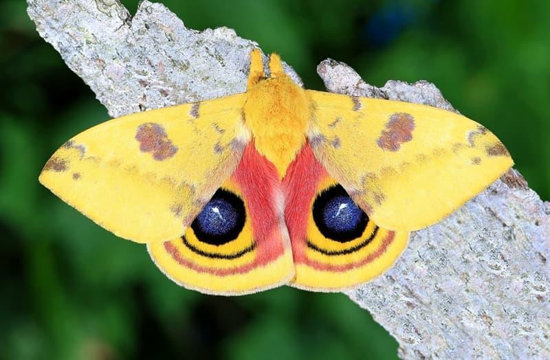 Nature Story: #4 Io moth