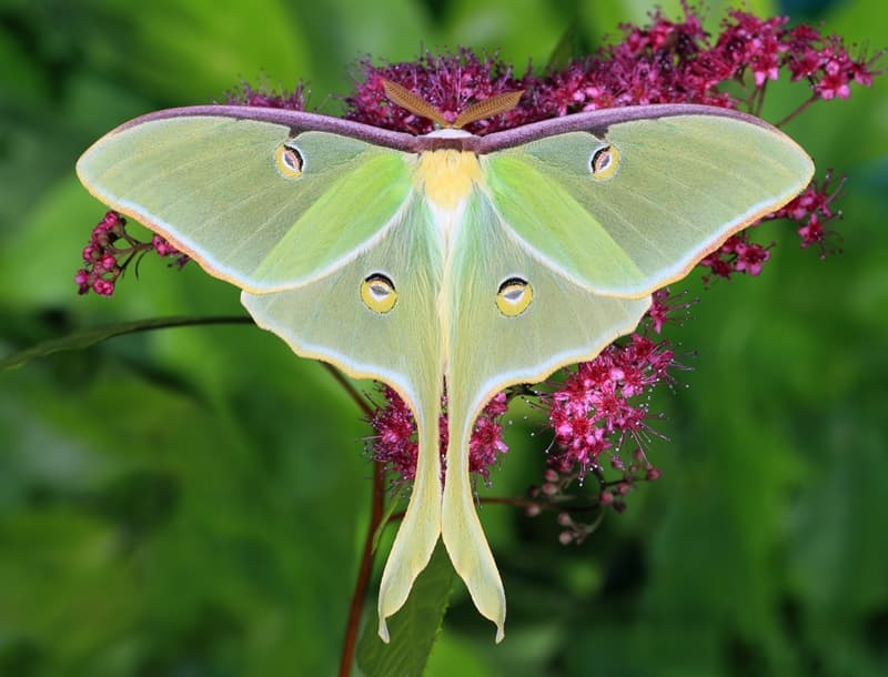 Nature Story: #5 Luna moth