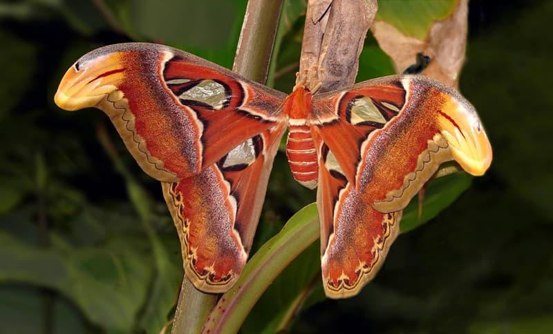 Nature Story: #6 Atlas moth