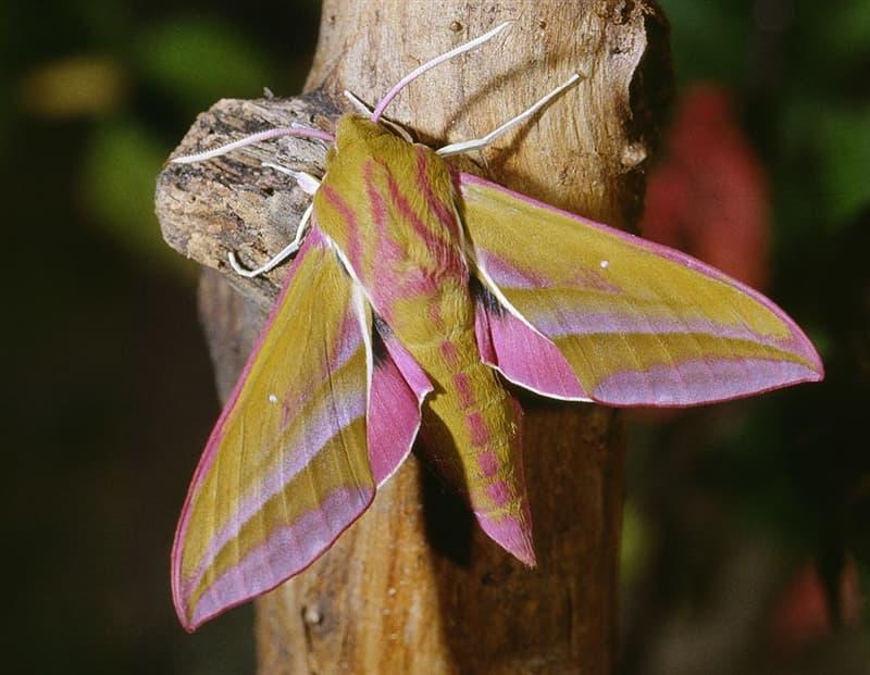 Nature Story: #7 Elephant hawk moth