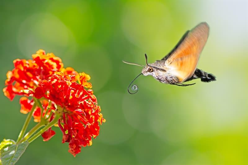 Nature Story: #9 Hummingbird hawk-moth