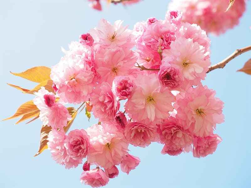 Nature Story: #10 Cherry blossom