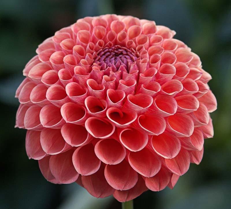 Nature Story: #3 Dahlia