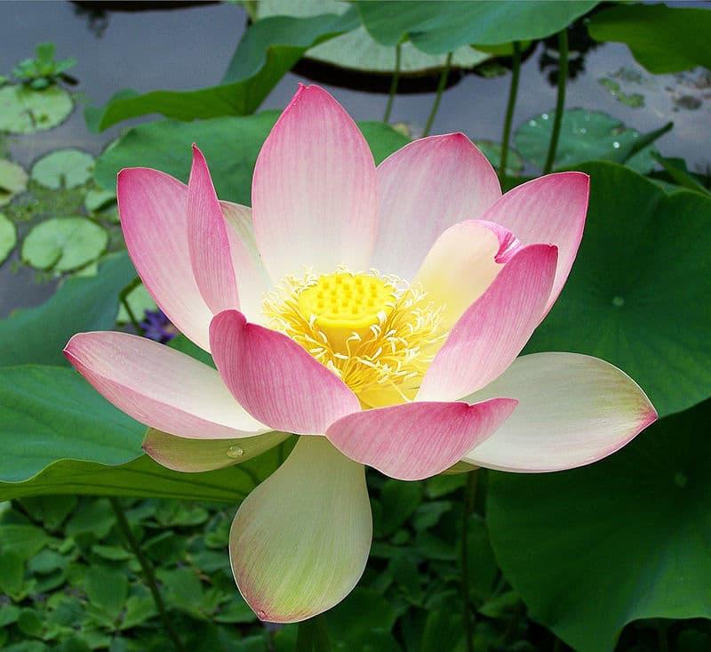 Nature Story: #5 Indian lotus