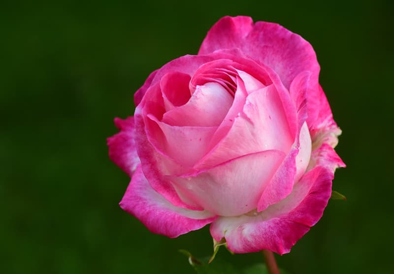 Nature Story: #6 Rose