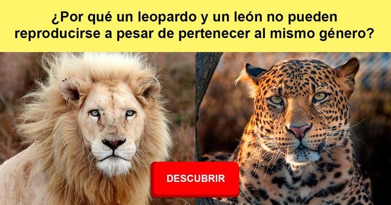 Сiencia Historia: ¿Por qué un leopardo y un león no pueden reproducirse a pesar de pertenecer al mismo género?