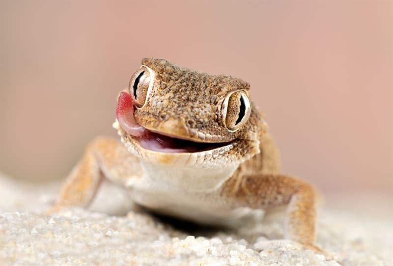 animals Story: Tarentola chazaliae African little lizard smiles. Helmethead gecko