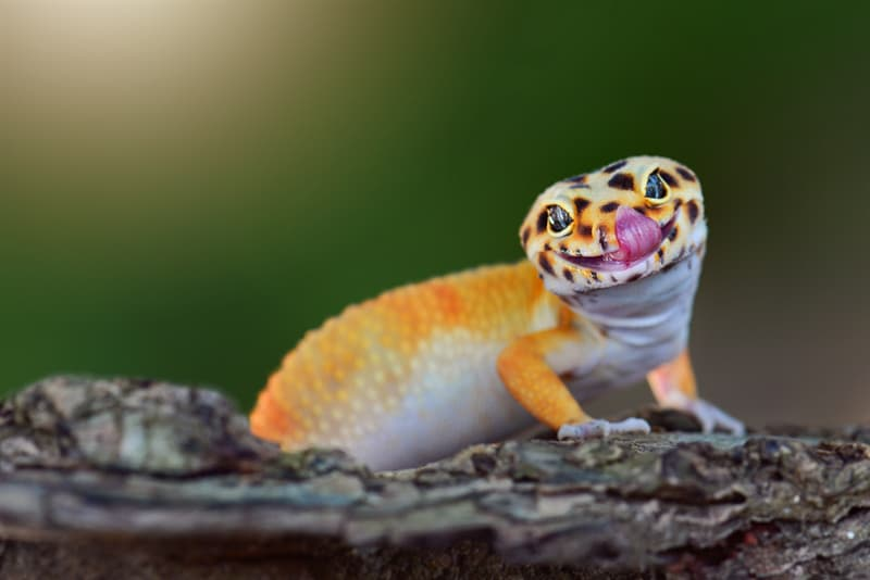 animals Story: The gecko leopard is smiling funny