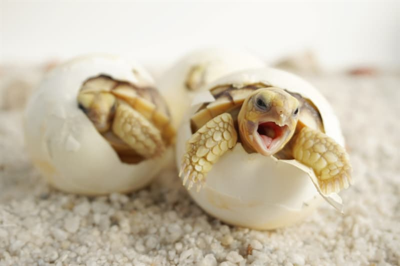 animals Story: Cute baby tortoises. Reptiles