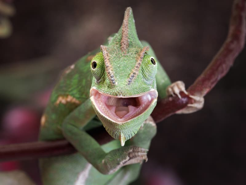 animals Story: Happy smiling chameleon that will make you laugh. The cutest reptiles