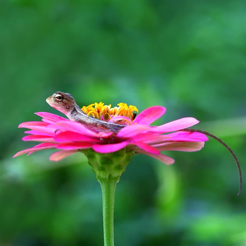 animals Story: Lizard on a pink flower. The cutest reptiles