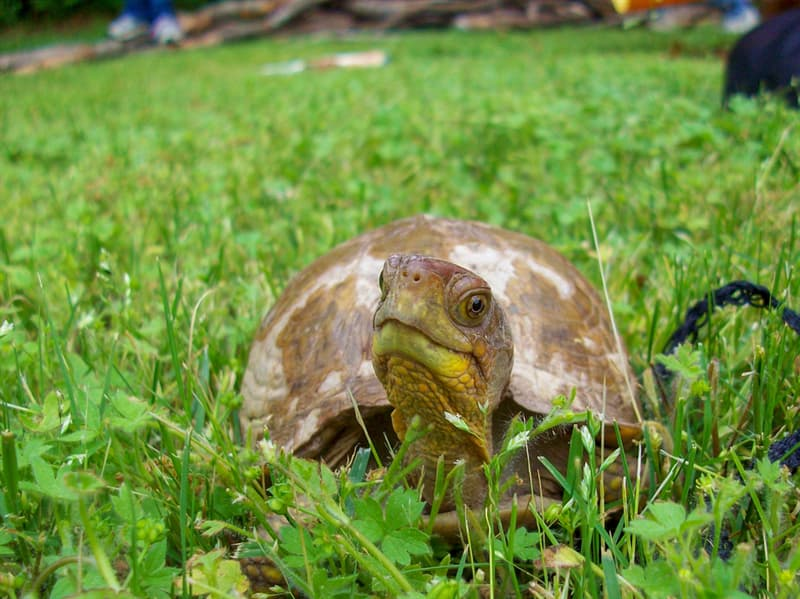 animals Story: Happy Turtle Box Turtle in Grass Smiling Tortoise on Summer Lawn Turtle Terrapene