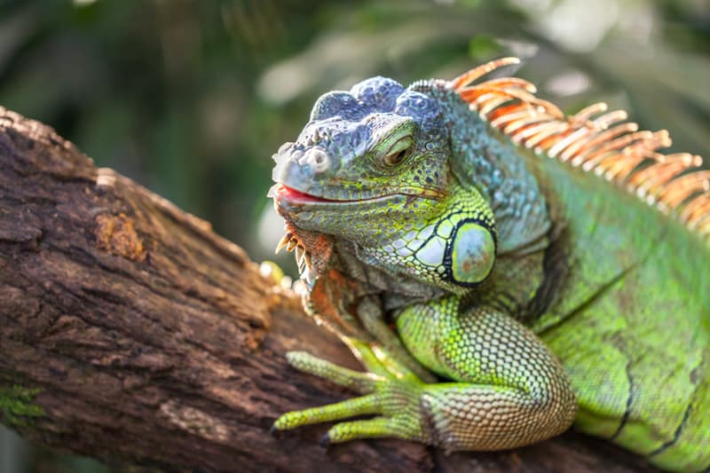 animals Story: A green smiling big iguana is lying on a tree branch in a tropical forest and basking in the sun. Reptile head closeup.