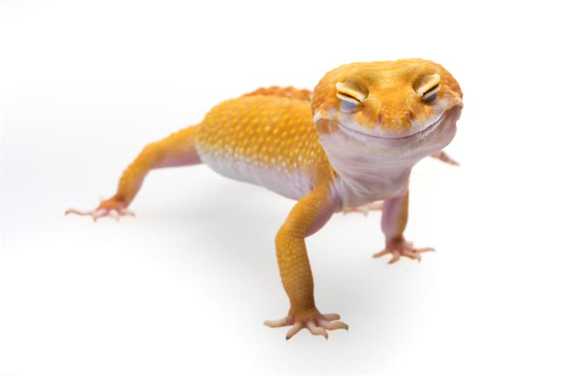 animals Story: Smiley leopard gecko