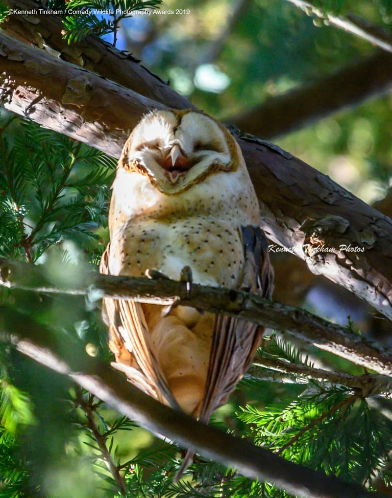 """Society Story: #12 """"Laughing Barn Owl"""" by Kenneth Tinkham"""
