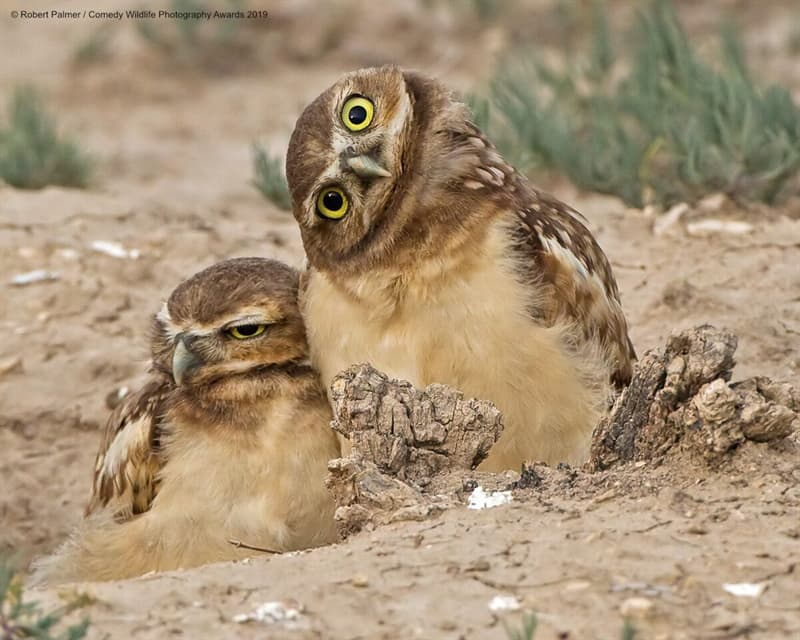 """Society Story: #15 """"Burrowing Owlets"""" by Robert Palmer"""