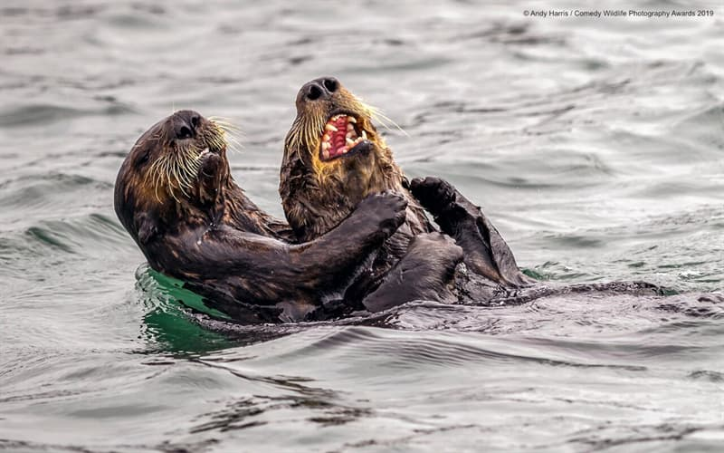 """Society Story: #3 """"Sea Otter Tickle Fight"""" by Andy Harris"""