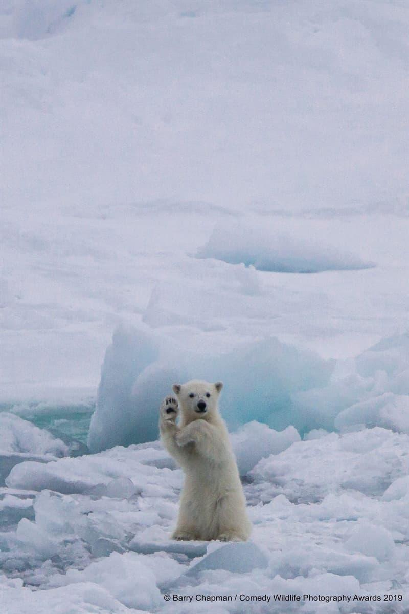 """Society Story: #4 """"Waving Polar Bear Cub"""" by Barry Chapman"""