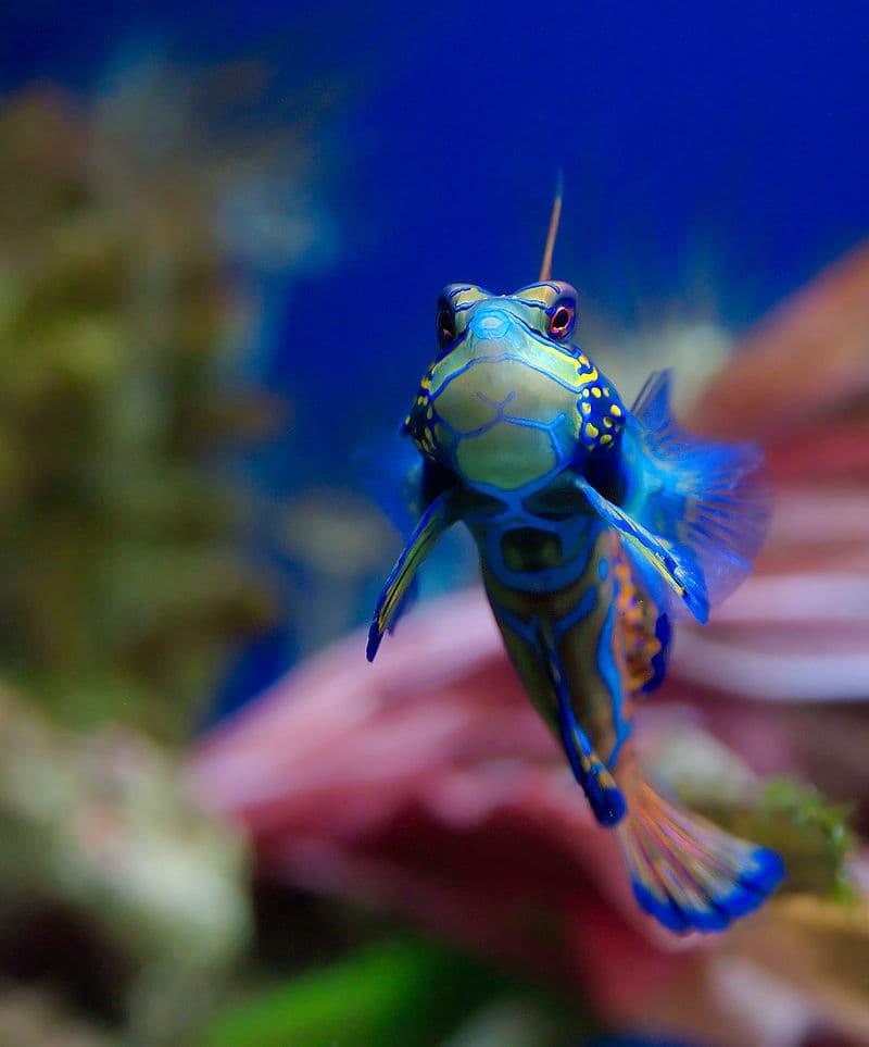 Nature Story: #3 Mandarinfish or synchiropus splendidus