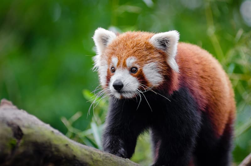 Nature Story: #7 Red panda