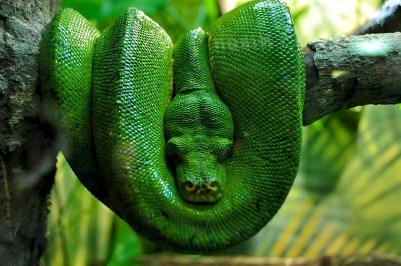 Nature Story: #8 Emerald tree boa