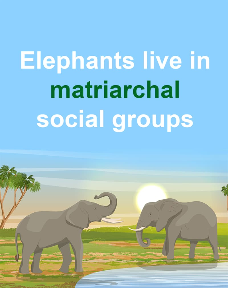Geography Story: Elephants live in matriarchal social groups