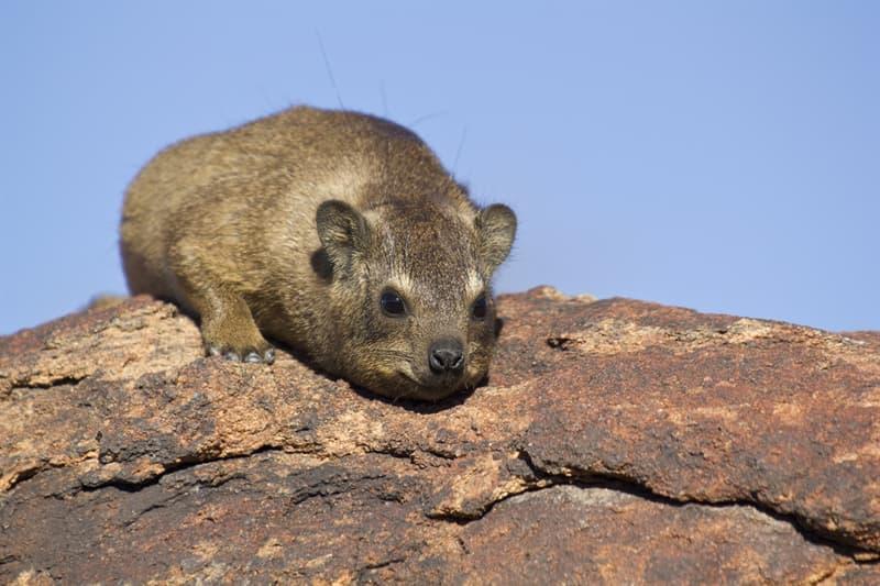 animals Story: #2 Rock hyrax