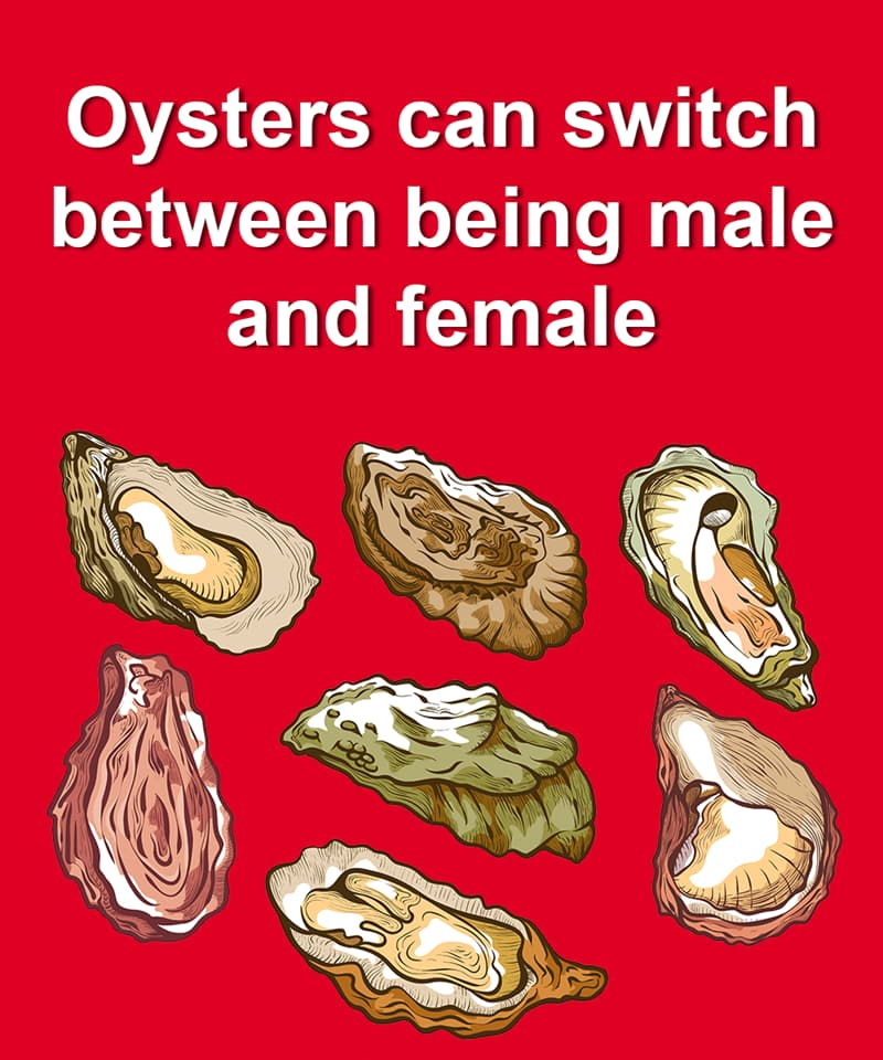 Nature Story: Oysters can switch between being male and female