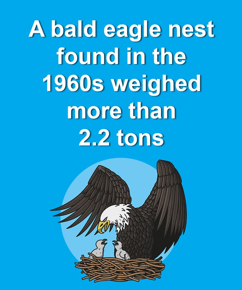 Nature Story: A bald eagle nest found in the 1960s weighed more than 2.2 tons
