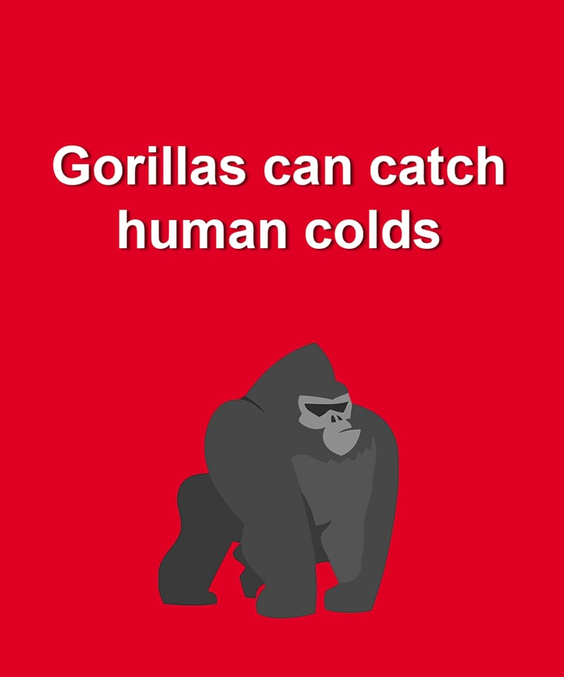 Nature Story: Gorillas can catch colds just like humans do