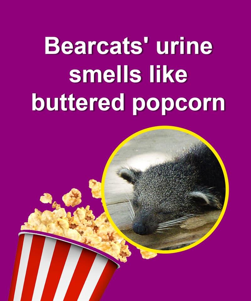 Nature Story: Bearcats' urine smells like buttered popcorn