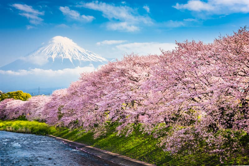 Geography Story: #1 Blossoming cherry trees, Japan