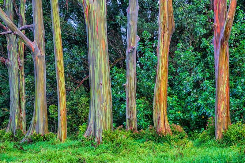 Geography Story: #2 Rainbow eucalyptus, Hawaii