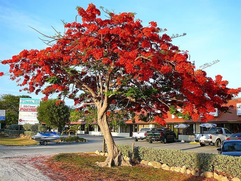 Geography Story: #7 Poinciana tree, Florida, USA